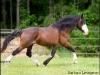 Stallion Wayward Wind
